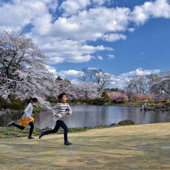 銀賞:池上和夫 桜に誘われて